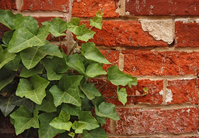 Ivy_Hedera_Red_Brick_Wall_2892px